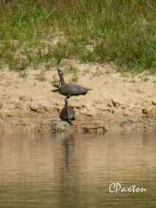 Turtles basking on a sandy beach beside Lake D'Arbonne