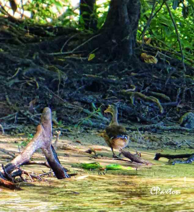 A Wood Duck on Lake D'Arbonne