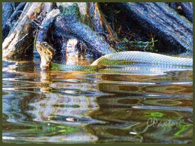 A face-off with a nice specimen of Eastern Cottonmouth. C.Paxton photo and copyright.