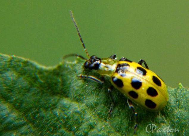 Black-spotted yellow beetle