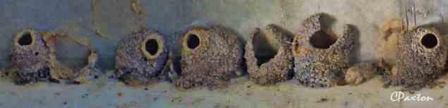 Swift nests built of clay under Highway 2 bridge on Bayou D'Arbonne
