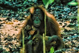 Orang Utan mother and child from Kalimantan in eastern Borneo. C . Paxton photo and copyright.