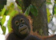 Orang Utan on Borneo by Andy Luck