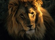 The majestic lion remains the British national animal .