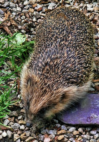 Consider beer traps over slug pellets and talk with your neighbours about hedgehog holes in garden walls and fences for unobstructed hunting of garden pests.