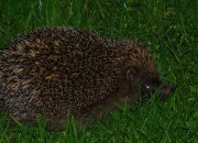 Hedgehogs have been declining in Great Britain, primarily due to habitat loss.