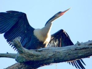 Anhinga from Bayou D'Arbonne, D'Arbonne National Wildlife Refuge, Louisiana.