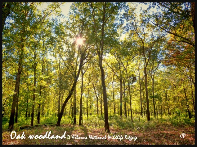 Golden sunlight filtering through yellowy green Oak forest foliage at Bayou D'Arbonne in the D'Arbnne National Wildlife Refuge, taken on the Lumix Fz70 and boosted in Topaz Adjust 5, C.Paxton photo and copyright