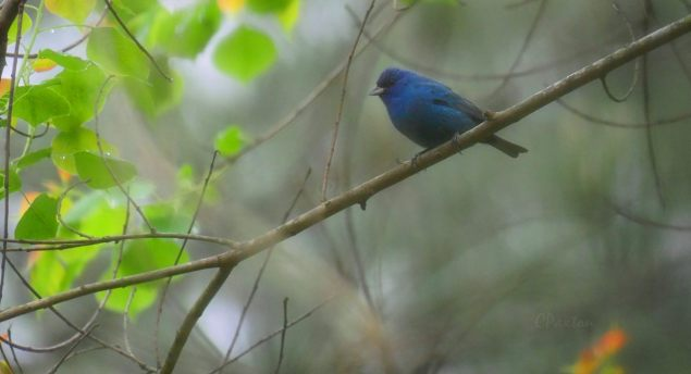 Blue Bunting in the rain at Crawfish Springs, pictured at eye-level. Panasonic Lumix DMC GX8 with Opteka 650-1300 mm zoom. C. Paxton photo and copyright.