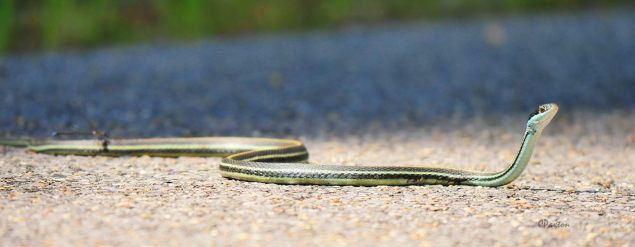 A non-venomous Bluestripe Ribbon, Thamnophis sauritus nitae Snake in Tensas River NWR, pictured at eye-level. Panasonic Lumix DMC GX8 with 100-300 mm zoom. C. Paxton photo and copyright.