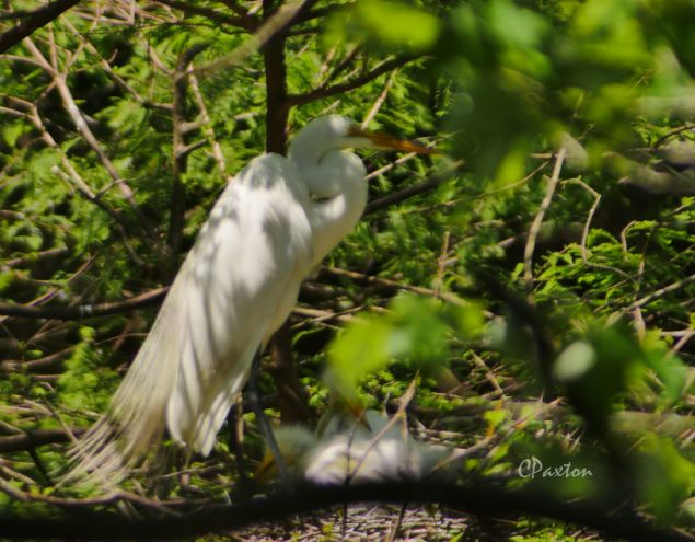 Great Egret family photographed from the blind at Tensas River NWR.