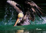 Pelican splashing boisterously at Monroe's zoo, taken on the Opteka 650-1300mm by C.Paxton.