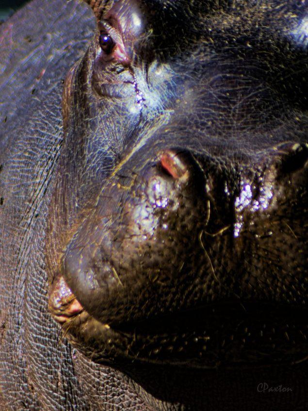 Pygmy Hippo at Louisiana Purchase Gardens and Zoo