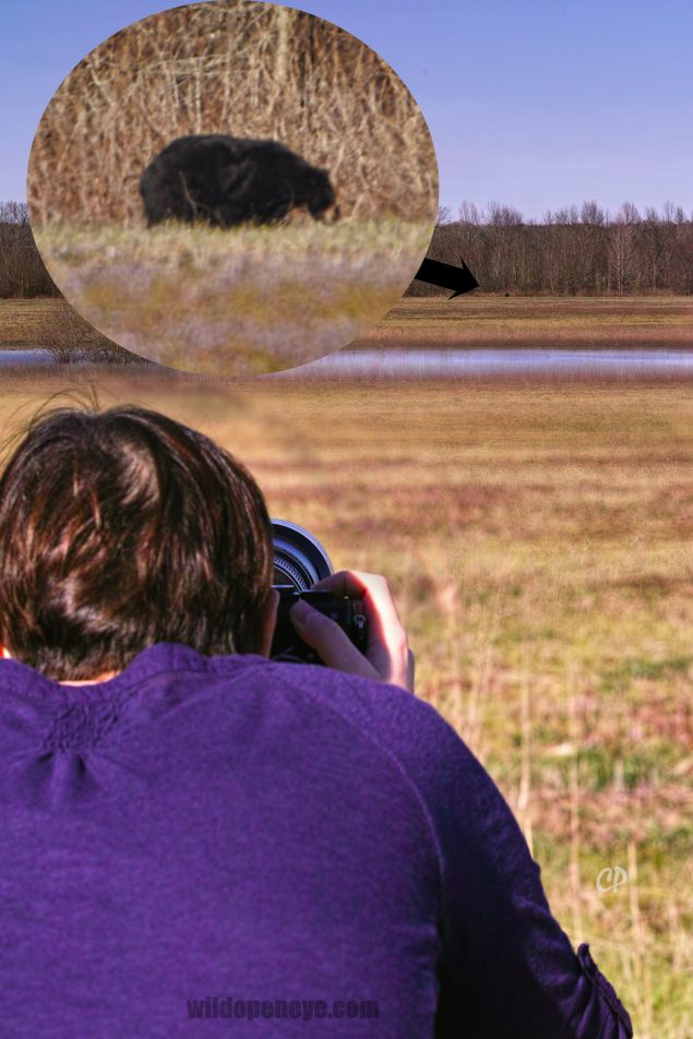 Bear photography on Safari at Tensas National Wildlife Refuge, north-east Louisiana. C.Paxton photo and copyright.