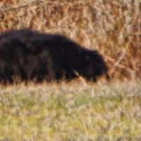 Black Is Beautiful!  Louisiana Black Bear Spotting At Tensas River National Wildlife Refuge