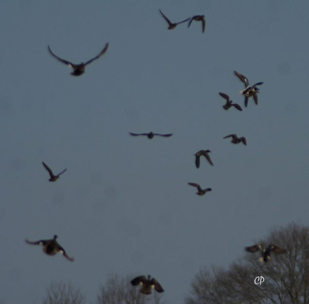 Ducks taking off at Tensas NWR, Feb 2016