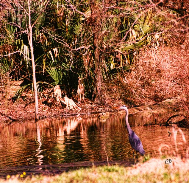 Heron fishing in Tensas River NWR