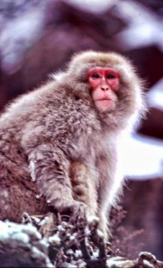 japanese_monkey_imageweb