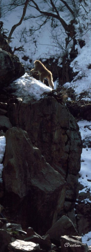 A Japanese Macaque (Snow Monkey) climbing its own mountainin Nagano Prefectures famous 'Hell Valley'.