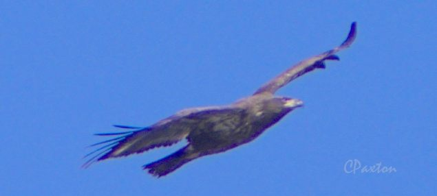Golden Eagle at Corney Lake, Kisatchie National Forest in Louisiana. C.Paxton photo and copyright.