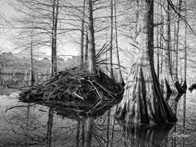 One of many Beavers' Lodges at Corney Lake in Kisatchie National Forest in January 2016, a fantastic place for boating and wildlife spotting. C.Paxton photo and copyright.