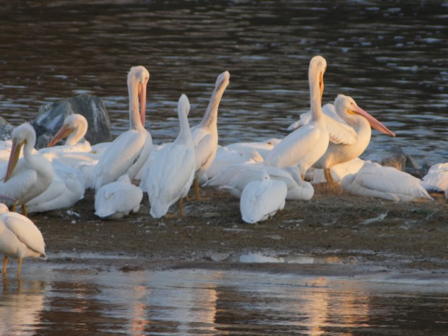 White Pelicans at Lake D'Arbonne's Spillway, taken on Opteka 650-1300mm zoom, tripod supported. C. Paxton photo and copyright.