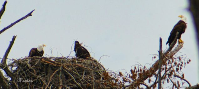 Bald Eagle parents, nest and young at Black Bayou National Wildlife Refuge in Monroe Louisiana. Image shrunk for web, taken on Lumix GX8 with Opteka 650-1300mm zoom at 1300mm mark. C.Paxton photo and copyright.