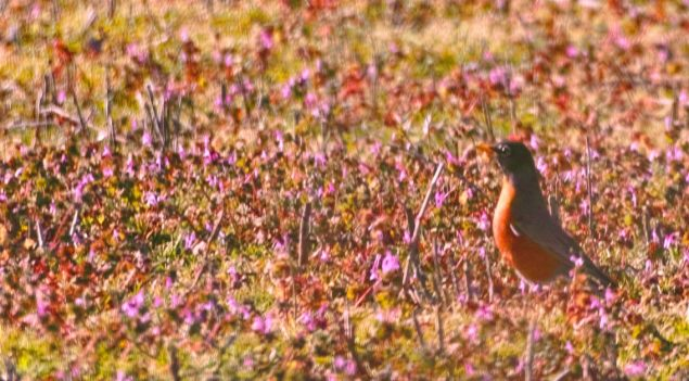 Robin hunting insects in the flowery meadows. Sigma SD1 and 300 mm zoom, cropped shot.