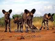 Pack of young African Hunting Dogs at Laikipia Wilderness Camp, Kenya taken on Olympus digital camera image and copyright Steve Holroyd 2016.