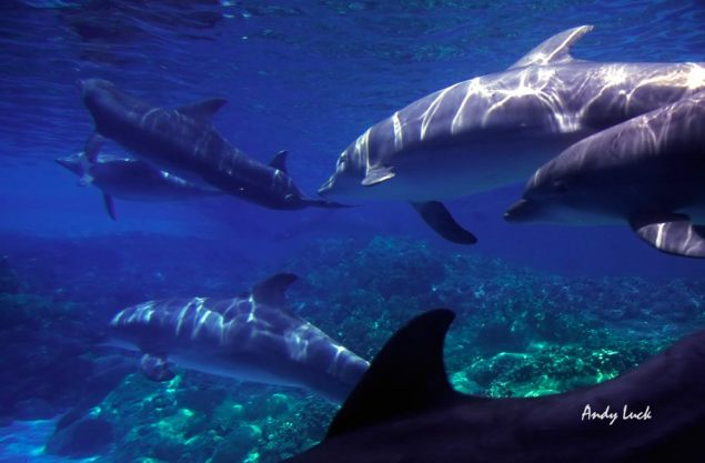 dolphins-pod-uwater_andy_luck