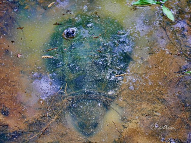 Chelydra serpentina, The Common Snapping Turtle, is a very powerful amphibious terrapin that spends most of its time submerged in ambush for its prey. C. Paxton photo and Copyright.