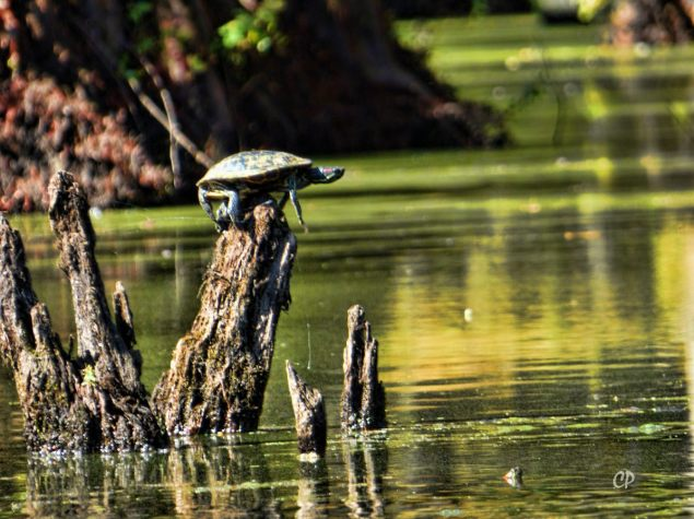 Red-eared Sliders at Persimmon Hole in Corney Creek. Charles Paxton photo and copyright.