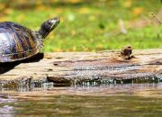 A Red-eared Terrapin. or Slider, basking on a log in Corney Creek, Farmerville, Louisiana. C.Paxton photo and copyright.