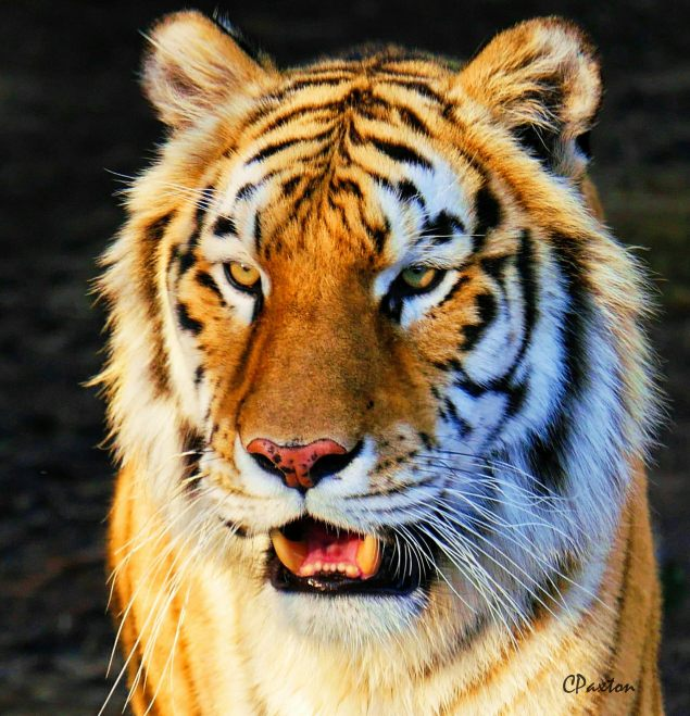 Portrait of Panthera tigris, photo and copyright C.Paxton.