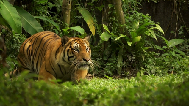 Malaysian tiger, Panthera tigris Andy Luck photo and copyright.