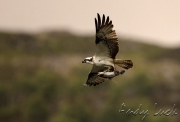 Migratory birds such as this Osprey by Andy Luck, are at risk from illegal hunting in the Mediterranean region. Image and copyright Andy Luck