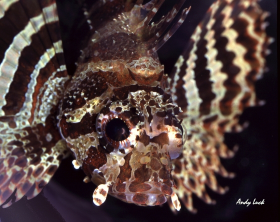Lion fish of the Indo Pacific reefs Andy Luck photo and copyright.