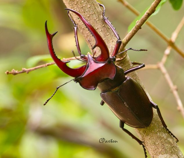 Lucanus elephas,  Elephant Stag Beetle male on a Box bush near Antioch, Louisiana. Image and copyright C. Paxton