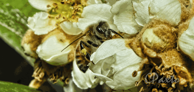Honey Bee pollinating flowers.