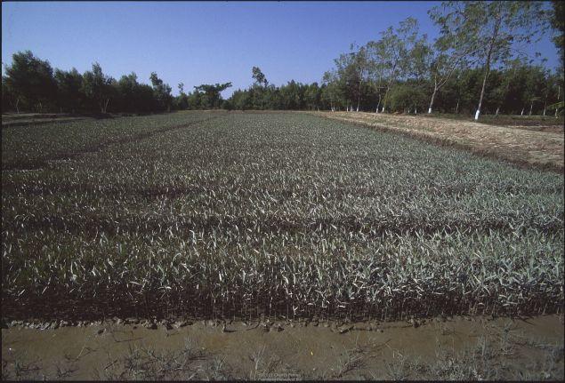 Mangrove seedlings in nursery Ayerwaddy Delta, Myanmar.