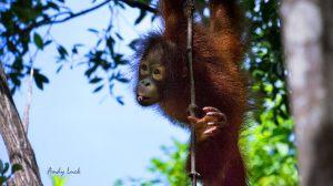 orangutan_andyluck