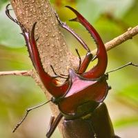 The Elephant Stag Beetle, Lucanus elephas