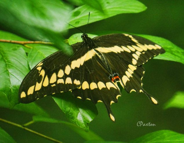 The Giant Swallowtail butterfly is one of North America's largest and most spectacular butterflies, C.Paxton photo and copyright.