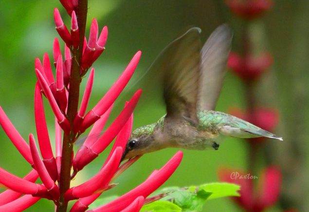 Female Ruby-throated Hummingbird on Coral Bean flowers.  C. Paxton photo and copyright.