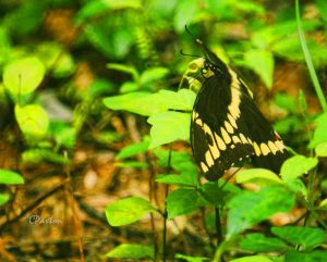 Giant Swallowtail at rest in the herb layer at Crawfish Springs. C.Paxton image and copyright.