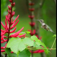 Hummingbird on Coral Bean