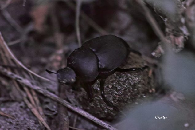 Dung Beetle riding its dung ball to ascertain that his direction to the burrow is correct. Near Farmerville, Northeast Louisiana, USA. C.Paxton photo and copyright.