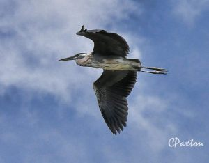 Heron in flight at Russell Sage Wildlife Management Area