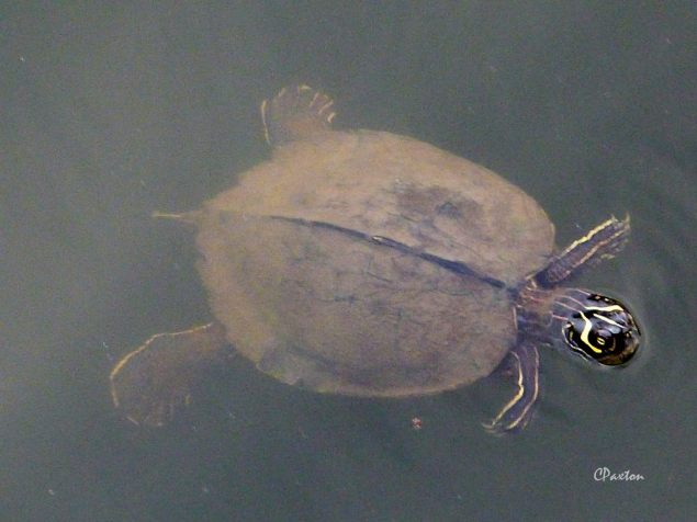 Mississippi Map Turtle swimming in Tensas River. C. Paxton image and copyright.