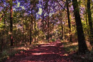 4 wheeler trail at Tensas River NWR. C. Paxton image and copyright.